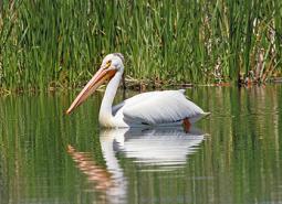 American-white-pelican_Keith-Kohl_460.jpg