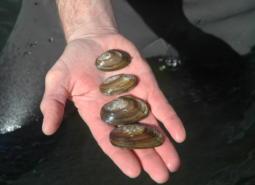 California Floater Freshwater Mussel at the Malheur National Wildlife Refuge.
