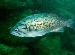Blue_rockfish_NOAA_460.jpg