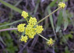 Bradshaws-desert-parsley_ODA_460.jpg