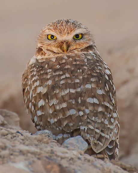 Burrowing-Owl_USFWS_460.jpg