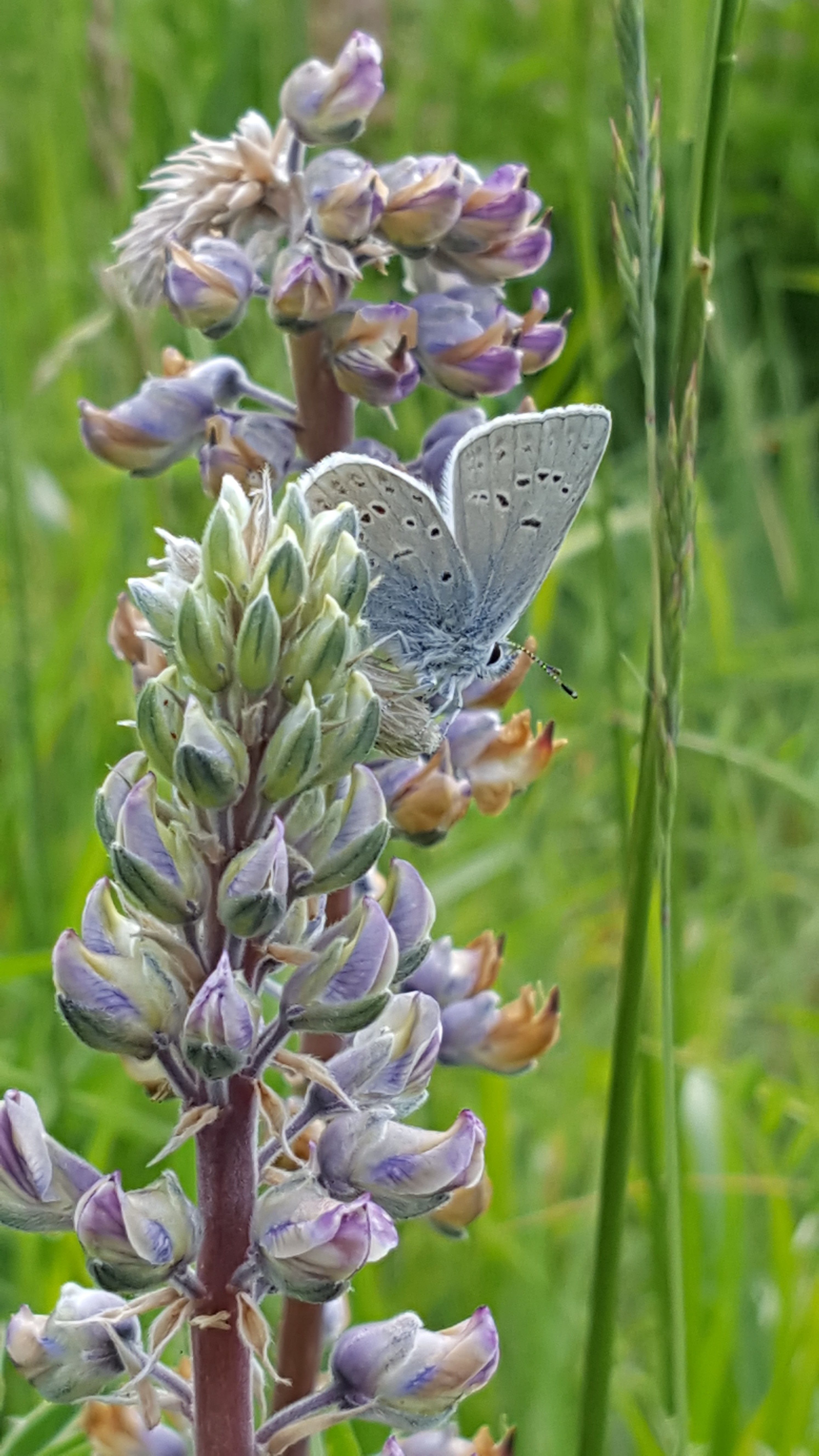 Fender's Blue Butterfly on lupine in the Mount Richmond conservation easement.