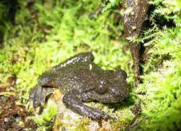 Coastal-tailed-frog_USFWS_460.jpg