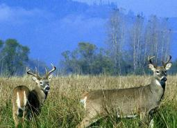Columbian-White-tailed-Deer_USFWS_460.jpg