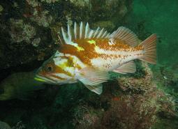 Copper_rockfish_Janna_Nichols_460.jpg