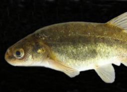 Foskett Spring Speckled Dace