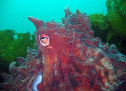 Giant_Pacific_Octopus_Janna_Nichols_460.jpg
