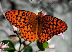 Great Spangled Fritillary_Odonata98