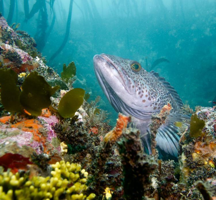 A vast array of fish, invertebrates, marine mammals, birds, algae, plants, and micro-organisms live in Oregon Nearshore waters.