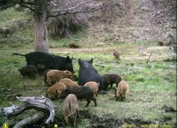 Invasive feral swine
