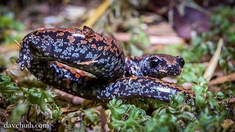 Oregon_slender_salamander_Dave_Huth_flickr_460.jpg