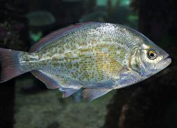 Redtail_surfperch_Oregon_Coast_Aquarium_460.jpg