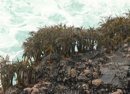 Sea_palm_Gregory_Krutzikowsky_ODFW_460.jpg