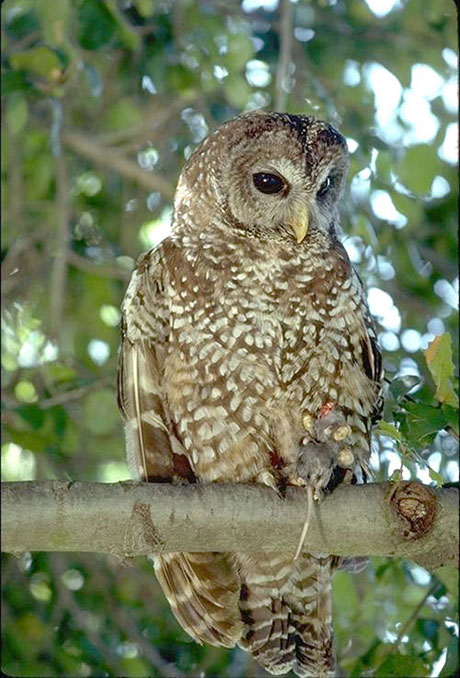 research paper on the northern spotted owl Shows that northern spotted owl and barred owl conflicts are increasing and cannot be good for the prospect of the northern spotted owl this information is shown on table 1.