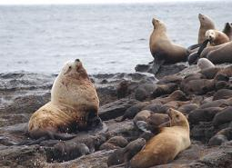 Steller-sea-lions_ODFW_460.jpg