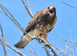 Swainsons-Hawk_Tom-Koerner_USFWS_460.jpg