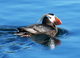 Tufted-Puffin_USFWS_460.jpg