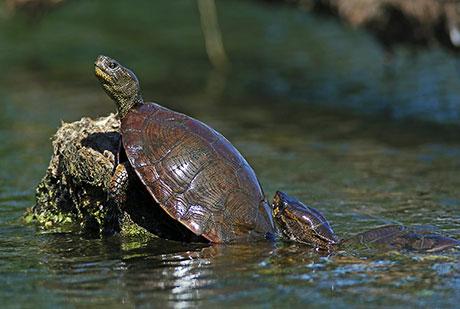 Western-Pond-Turtle_Keith-Kohl_460.jpg