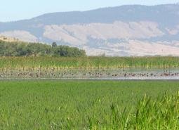 Ducks on a wetland in Ladd Marsh Wildlife Area, Oregon