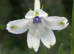 White-rock-larkspur_ODA_460.jpg