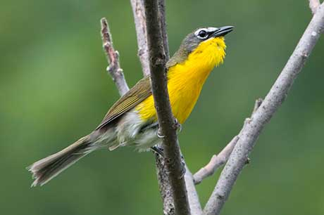 Yellow_breasted_chat_Kelly_Colgan_Azar_flickr_460.jpg