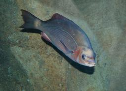 striped_perch_Oregon_Coast_Aquarium_460.jpg