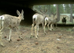 A motion sensor camera catches deer using the underpass built under Highway 97 as part of the wildlife crossing project intended to reduce wildlife-vehicle collisions.